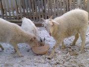 продам молодняк коз срочно