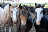 Продам Баянаульских экологический чистых лошадей (тай, жабагы) на согым