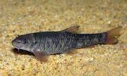 рыбки гарра руфа,  оптом