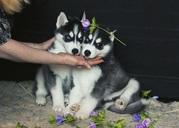 Сибирские щенки хаски в поисках новых домов